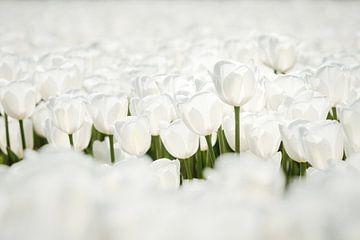 Nahaufnahme von schönen weißen Tulpen im Polder von Fotografiecor .nl