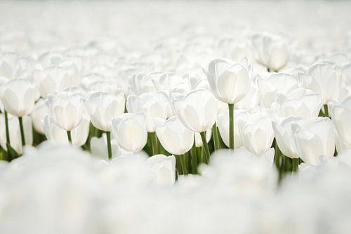 Close-up van mooie witte tulpen in de polder