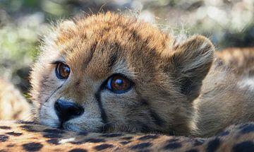 Jong jachtluipaard van Eye to Eye Xperience By Mris & Fred