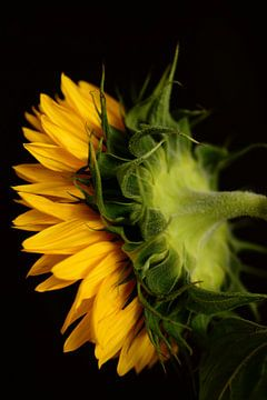 Sonnenblume von Saskia Schotanus