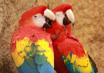 Loving parrot couple van
