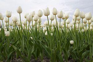 Prachtige hollandse tulpen  van
