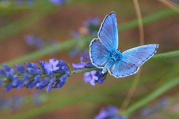 Vlinder Icarusblauwtje van Ad Jekel