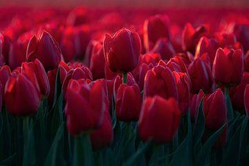 Rode tulpen in Nederland van Vincent Fennis