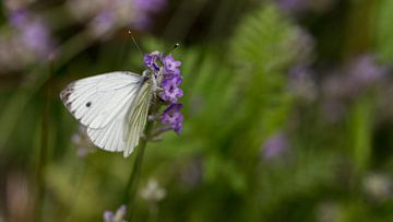 vlinder van anne droogsma