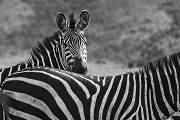 Zebra's in Akagera van paul snijders
