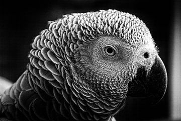 Kongo Graupapagei von Liane Leddermann