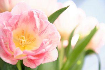 Gros plan d'une tulipe rose dans le champ de tulipes sur Melissa Peltenburg