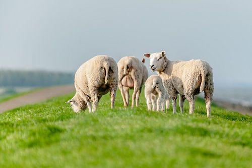 Grazende schapen in het grasland