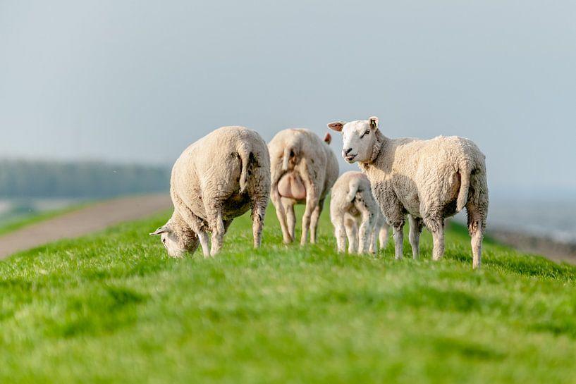 Grazende schapen in het grasland van Fotografiecor .nl