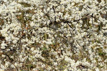 bloesem wit van Petra De Jonge