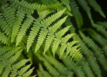 Farn im Wald von Iris Volkmar