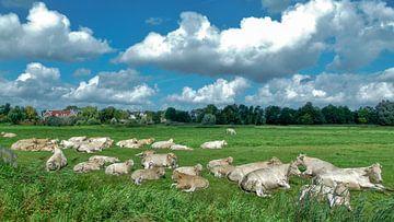 Kühe und mehr Kühe von Omri Raviv