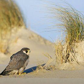 Erwachsener Wanderfalke am Strand einer Watteninsel von AGAMI Photo Agency