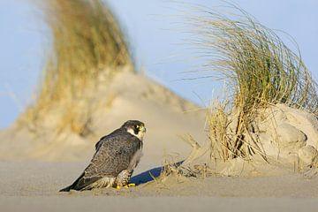 Erwachsener Wanderfalke am Strand einer Watteninsel