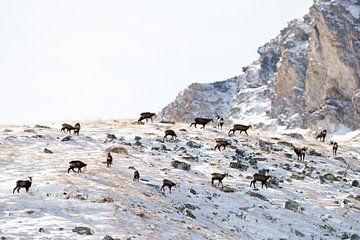 Gemzen Alpen van Judith Noorlandt