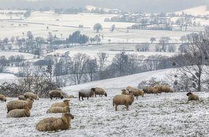 Een kudde schapen op de besneeuwde heuvels in Zuid-Limburg van