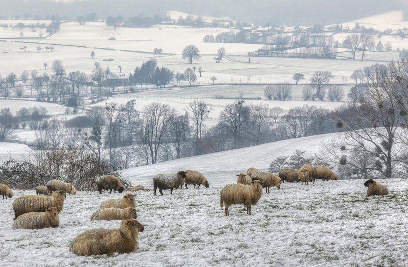 Een kudde schapen op de besneeuwde heuvels in Zuid-Limburg van John Kreukniet