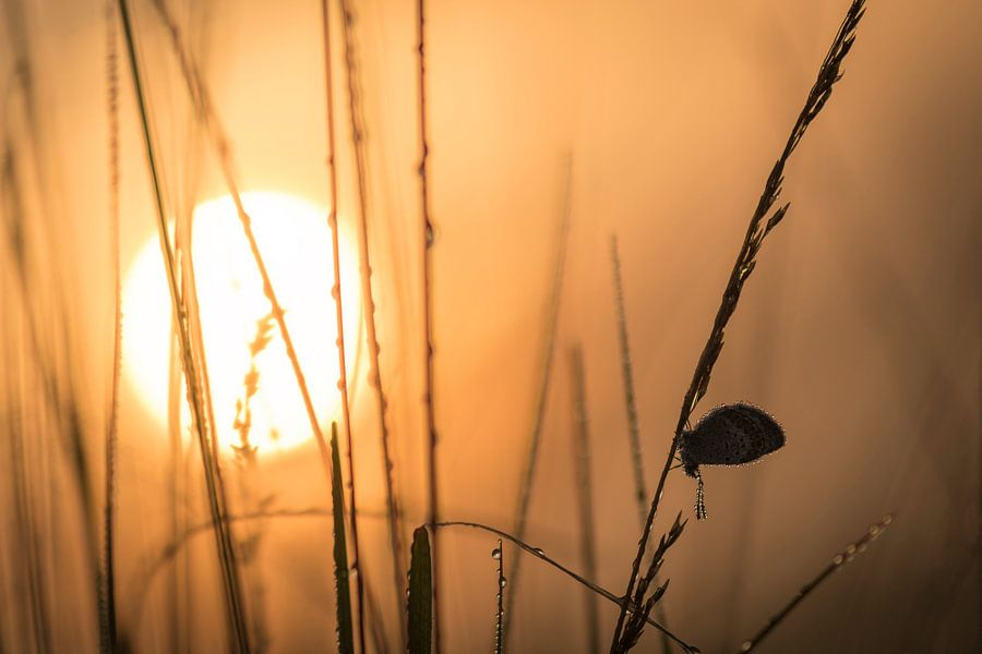 Heideblauwtje bij zonsopgang