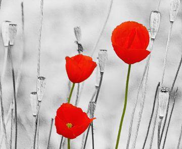 Poppy-Art van Caroline Lichthart