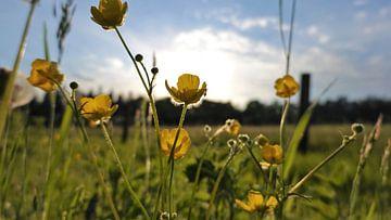 Butterblumen in der Frühlingssonne von Jacco Aalbers