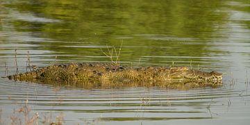 Krokodil im Wasser von Nicole Nagtegaal