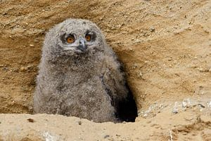 Eurasian Eagle Owl ( Bubo bubo ), young, chick, sitting in front of its nesting burrow in a sand pit