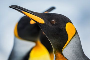 LP 71107881 Close up van een konings pinguïn van BeeldigBeeld Food & Lifestyle