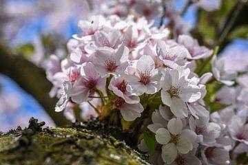 Japanse kersenbloesemboom van