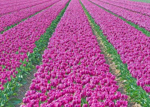 Purplefield