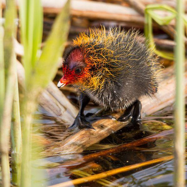 Vogels    meerkoetje van 1 dag oud van Servan Ott