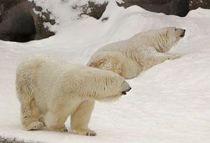 Zwei große arktische Eisbären (männlich und weiblich) im Winter vor dem Hintergrund von kaltem Wasse