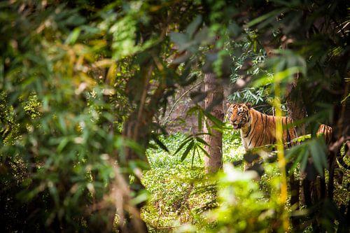 Bengalischer Tiger van