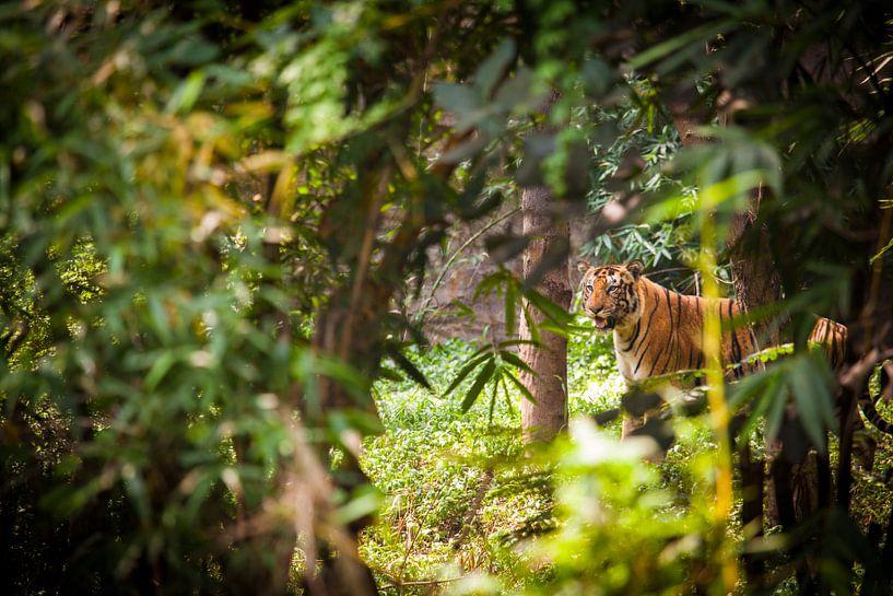Bengalischer Tiger van Jan Schuler