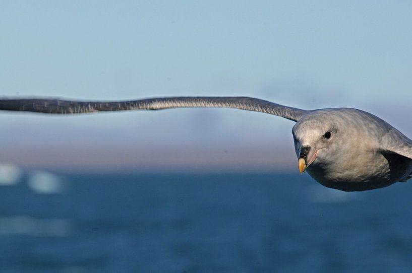 Stormvogelvlucht van Peter Zwitser