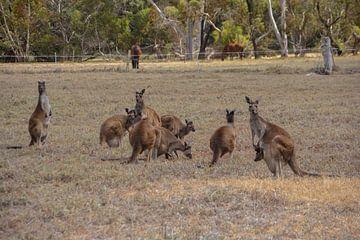 Kangaroos van Sanne Lillian van Gastel