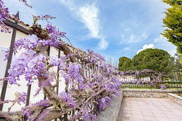 Umrankten Wistaria am Zaun hängen in Kefalonia Griechenland von Ben Schonewille