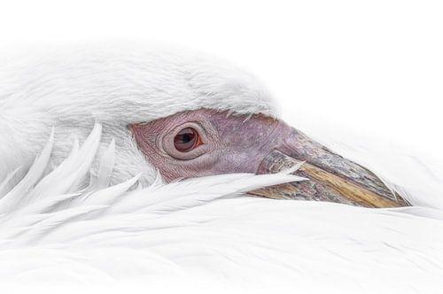 Witte pelikaan portrait