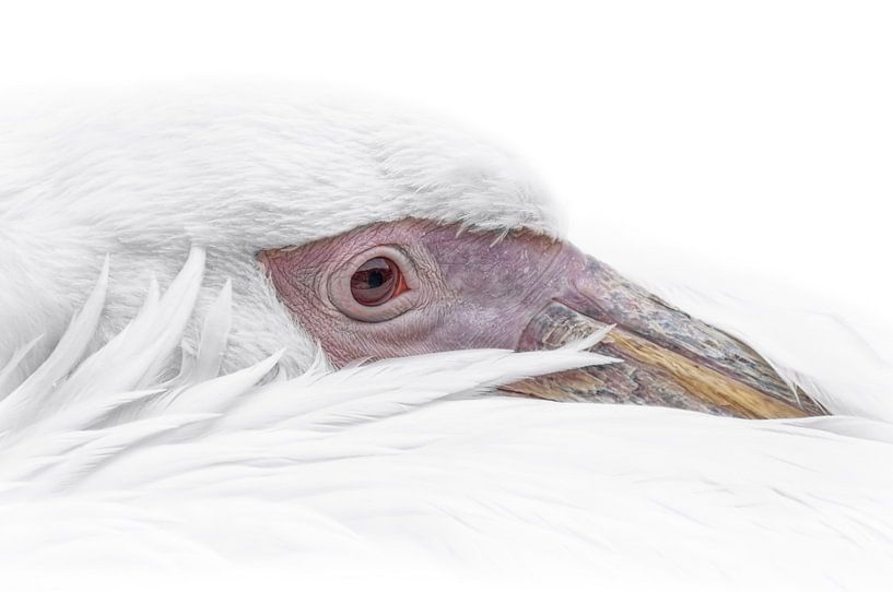 Witte pelikaan portrait von Ron Meijer