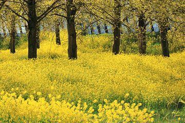 Gelbe Raps- oder Rübsenblütenpracht von Bobsphotography