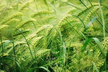 Groen zonnig gerstveld, abstract natuurachtergrondconcept voor landbouw en voeding, bemesting en pes van Maren Winter
