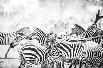 Zebra's in Serengeti Tanzania van Leon van der Velden