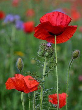 Mohn in einem Feld mit Wildblumen. von Cor Brugman