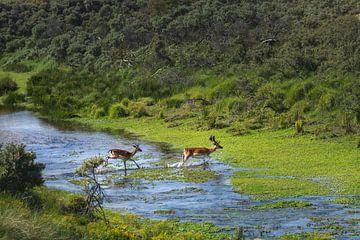 Damhirsche überqueren Wasser