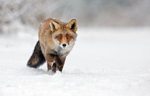 Vos lopend door de sneeuw