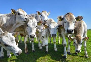 Freundliche Kühe auf der Wiese auf Texel von Inge Kampen