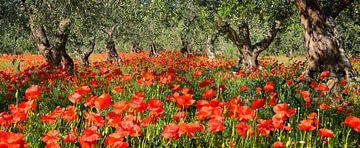 Coquelicots sous les oliviers en panorama sur iPics Photography