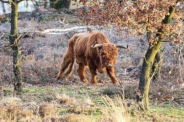 Schotse hooglander van Tim Voortman