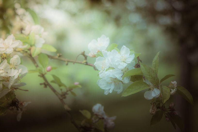 Tak van een appelboom met bloesem van Jille Zuidema