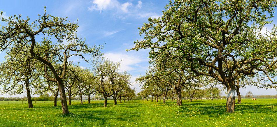 Appelbomen in een boomgaard in het voorjaar